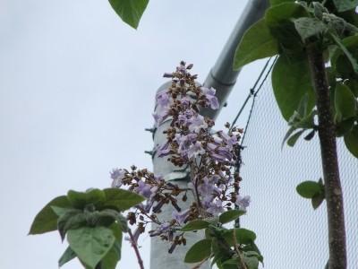 今年も桐の木に花が咲きました